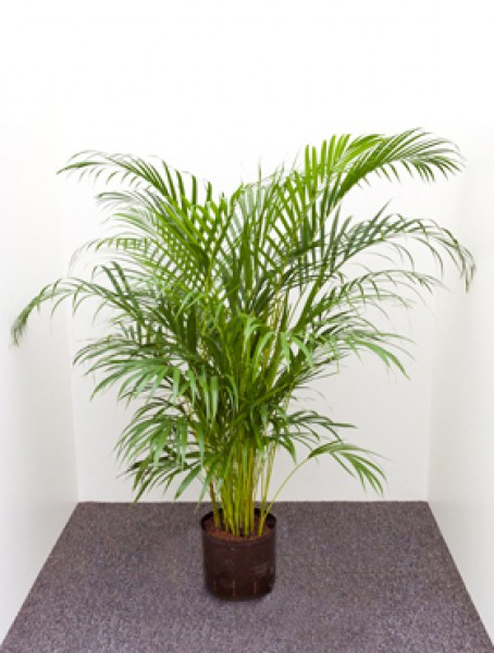 Areca lutescens tuff goldfruchtpalme in versch gr en for Hydrokultur shop