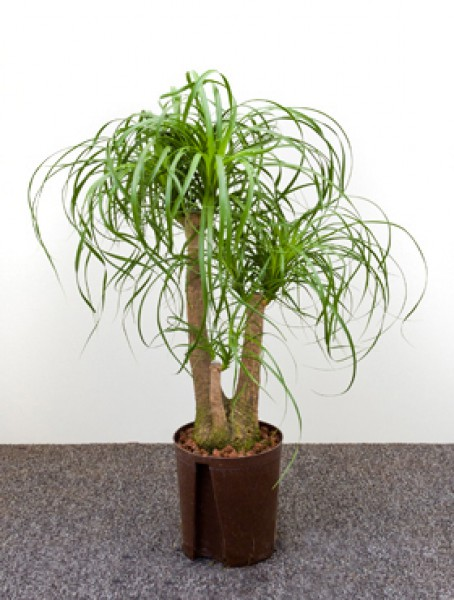 Beaucarnea recurvata verzweigt in versch gr en for Hydrokultur shop