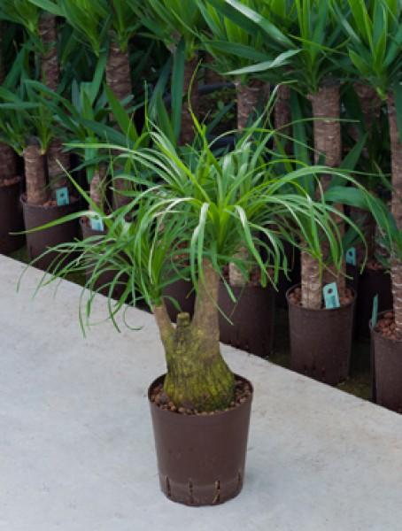 Beaucarnea recurvata verzweigt in versch gr en for Hydropflanzen versand
