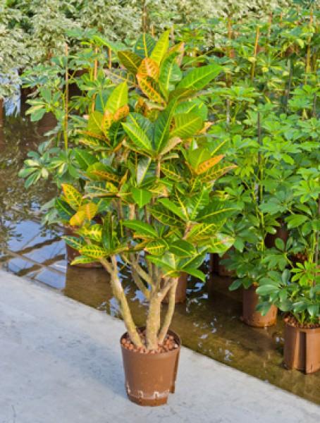 Codiaeum croton petra verzweigt in versch gr en for Hydropflanzen versand