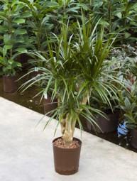 Dracaena marginata verzweigt (Drachenbaum) in versch. Größen