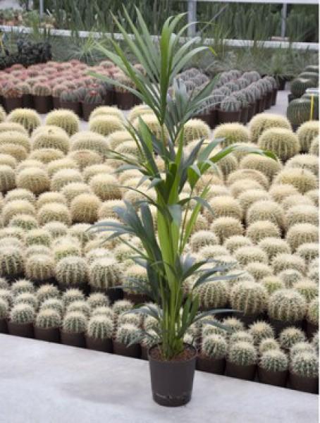 Howeia forsteriana kentia in versch gr en for Hydropflanzen versand