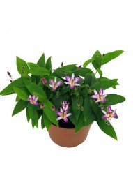 Tricyrtis (Krötenlilie)