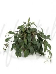 Aeschynanthus marmoratus (Schamblume) Ranker in versch. Größen