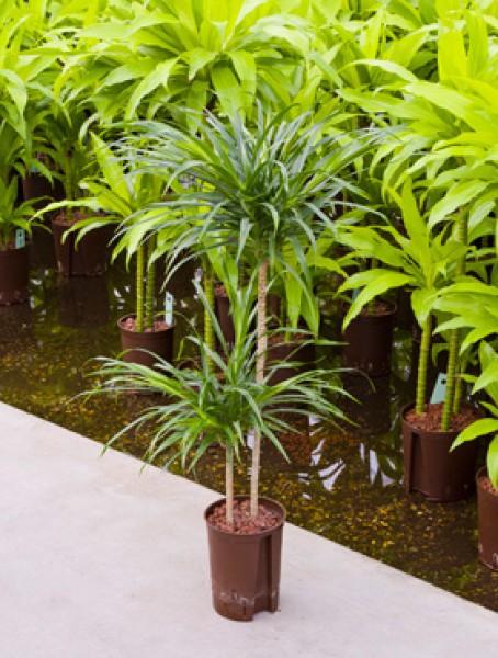 Pleomela anita in versch gr en hydrokultur pflanzen for Hydropflanzen versand