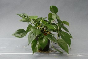 Philodendron scandens (Kletterphilodendron) in versch. Größen