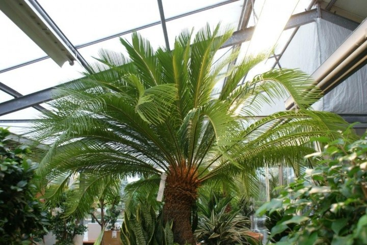 Cycas revoluta palmfarn h 180 cm solit rpflanzen zur for Hydrokultur shop