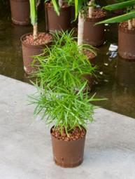 Asparagus falcatus im KT 13/12 ges. H. ca. 30-40 cm