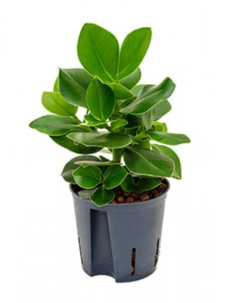 Clusia rosea princess in versch gr en hydrokultur for Hydropflanzen versand