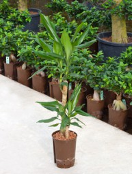 Dracaena (Drachenbaum) fragrans Stamm in versch. Größen