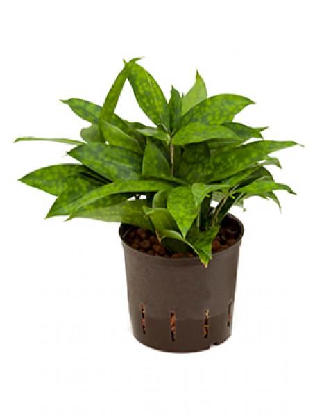 Dracaena surculosa in versch gr en hydropflanzen for Hydropflanzen versand