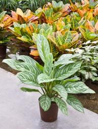 Aglaonema Green Stripe im KT 18/19 ges: H ca. 60-70 cm