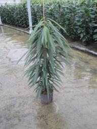 Ficus longifolia Alii im Kulturtopf 15/19 ges. H. ca. 80 cm