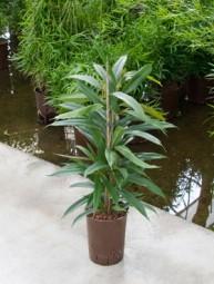 Ficus binnendijkii Amstel King Tuff (Feigenbaum) in versch. Größen