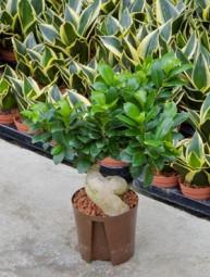 Ficus Microcarpa ginseng im KT 13/12 ges. H. ca. 20-30 cm
