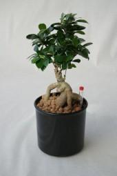 Komplettgefäß 13/12 mit Ficus microcarpa Ginseng, Wasserstandsanzeiger und Dünger für 3-4 Monate