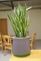 AIRY komplett bepflanzt mit Sanseveria laurentii ca. 60 cm in verschiedenen Gefäßfarben