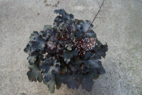 Heucherella (Purpurglöckchen) x hy. Black Beauty