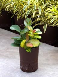 Hoya variegata Ranker in versch. Größen