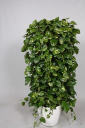 Raumteiler im Erd-Topf mit Philodendron Bepflanzung in Sorten im Semihydrosystem in versch. Größen