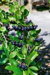 Kleine Apfelbeere 'Hugin' Aronia melanocarpa für die Terrasse