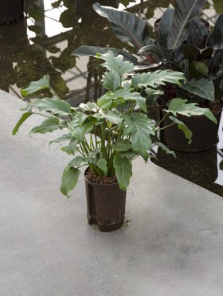 Philodendron xanadu baumfreund in versch gr en for Hydrokultur shop