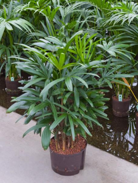 Raphis excelsa tuff in versch gr en hydrokultur for Hydropflanzen versand
