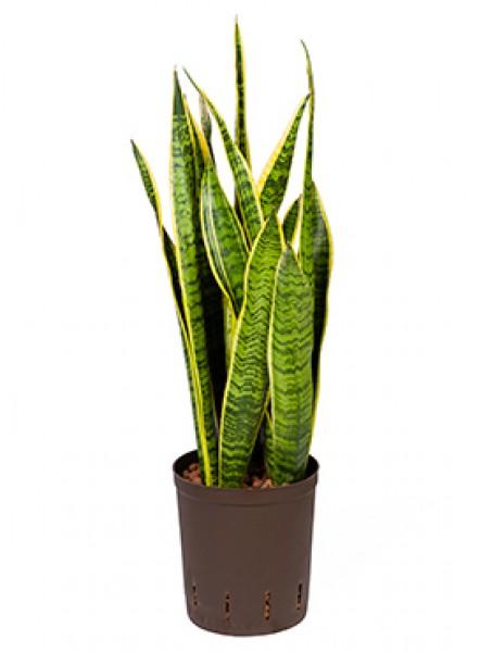 Sansevieria laurentii bogenhanf in versch gr en for Hydropflanzen versand