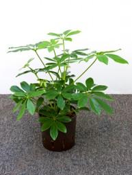Schefflera arboricola (Strahlenaralien) in versch. Größen