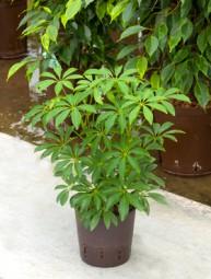 Schefflera louisiana im KT 13/12 ges. H. ca. 30-40 cm
