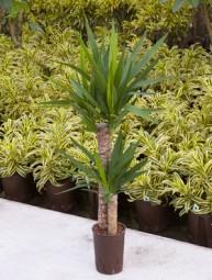Yucca Elephantipes im KT 15/19 (60-30) ges. H. c.a. 90-100 cm