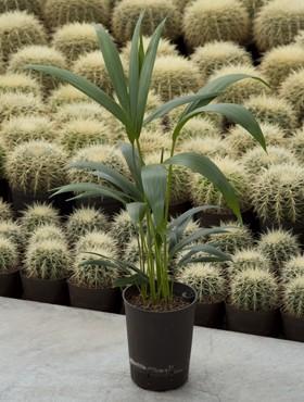 Howeia Forsteriana (Kentia) in versch. Größen