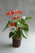 Anthurium andreanum in versch. Größen