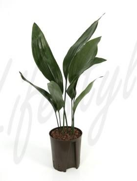 Aspidistra elatior (Schusterpalme) in versch. Größen