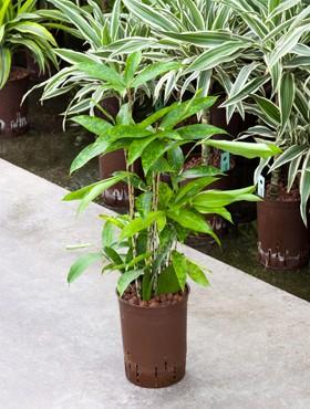Dracaena surculosa in versch. Größen