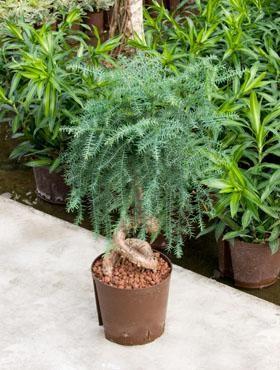 Araucaria cunningheimia KT 18/19 ges. H. ca. 60 cm