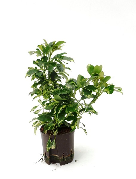 Schefflera sophia im KT 13/12 ges. H. ca. 30-40 cm