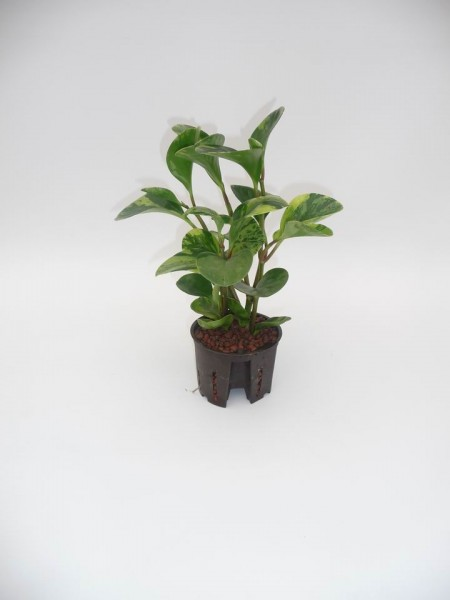 Peperomia obtusifolia (Zwergpfeffer) USA in versch. Größen