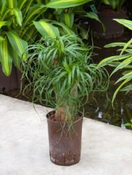 Beaucarnea recurvata verzweigt in versch. Größen