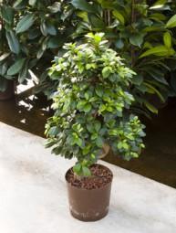 Ficus microcarpa compacta S Form in versch. Größen