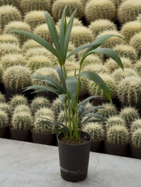 Howeia forsteriana kentia in versch gr en for Hydrokultur pflanzen versand