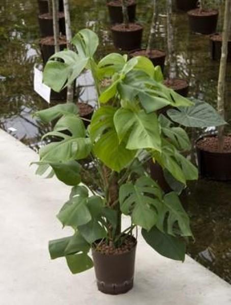 Monstera deliciosa fensterblatt 19er in versch gr en for Hydrokultur pflanzen versand