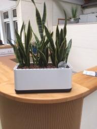Airy Box 50 cm / Luftreinigungs System in verschiedenen Farbkombinationen mit 3x Sanseveria laurent