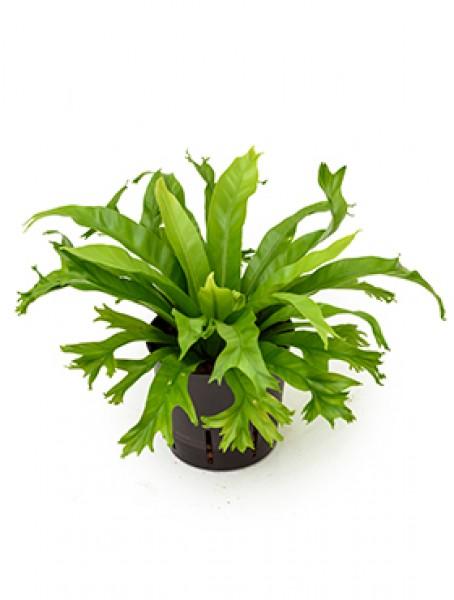 Asplenium amy nestfarn im kulturtopf 13 12 ges h ca for Hydrokultur pflanzen versand