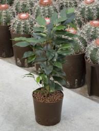 Ficus benjamina (Birkenfeige) Danielle in versch. Größen