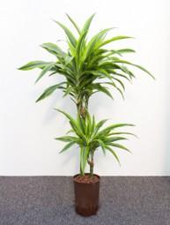Dracaena derem. Lemon Line (Drachenbaum) in versch. Größen