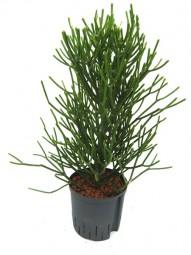 Euphorbia tirucalliTuff