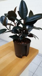 Ficus elastica abidjan im KT 13/12 ca. 30-40 cm