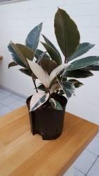 Ficus elastica tineke im KT 13/12 ca. 30-40 cm