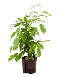 Ficus golden King 15/19 ges. H. ca. 80 cm